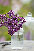 THE GOBBETT NURSERY, SHROPSHIRE: STILL LIFE - GLASS BOTTLE WITH THE PINK FLOWERS OF LILAC - SYRINGA VULGARIS ALBERT F HOLDEN. SCENT, SCENTED, FRAGRANT, DECIDUOUS, SHRUB