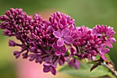 THE GOBBETT NURSERY, SHROPSHIRE: CLOSE UP PLANT PORTRAIT OF THE BURGUNDY, RED FLOWERS OF LILAC - SYRINGA VULGARIS CONGO. SCENT, SCENTED, FRAGRANT, LILACS, DECIDUOUS, SHRUB