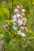 THE GOBBETT NURSERY, SHROPSHIRE: PINK, WHITE FLOWERS OF LILAC - SYRINGA VULGARIS KRASAVITSA MOSKVY. SCENT, SCENTED, FRAGRANT, DECIDUOUS, SHRUB, BEAUTY OF MOSCOW, PLANT PORTRAIT