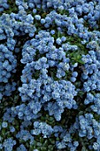 CLOSE UP PLANT PORTRAIT OF THE PALE BLUE FLOWERS OF CEANOTHUS THYRSIFLORUS REPENS. MAY, SPRING, SHRUB, EVERGREEN, PETAL, PETALS