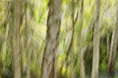 RHS GARDEN WISLEY, SURREY: ABSTRACT IMAGE OF BIRCH TREES AT BATTLESTON HILL - TAPPING CAMERA DURING LONG EXPOSURE
