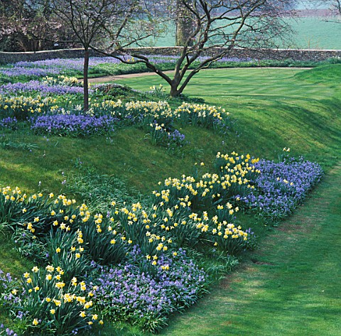 SCILLA_BITHYNICA_AND_DAFFODILS_ON_GRASSY_BANK_AT_BENINGTON_LORDSHIP__HERTFORDSHIRE