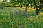 MORTON HALL GARDENS, WORCESTERSHIRE: BUTTERCUPS AND ALLIUM PURPLE SENSATION IN MEADOW. MORNING, SUNRISE, YELLOW, DRIFT, SPRING, EARLY SUMMER, PARKLAND
