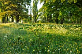 MORTON HALL GARDENS, WORCESTERSHIRE: BUTTERCUPS AND COW PARSLEY IN MEADOW. MORNING, SUNRISE, YELLOW, DRIFT, SPRING, EARLY SUMMER, PARKLAND