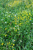 MORTON HALL GARDENS, WORCESTERSHIRE: BUTTERCUPS IN MEADOW. MORNING, SUNRISE, YELLOW, DRIFT, SPRING, EARLY SUMMER, PARKLAND
