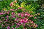 MORTON HALL GARDENS, WORCESTERSHIRE: FERNS AND A PINK AZALEA IN THE ROCKERY. SPRING, SHRUBS, SHADE, SHADEY