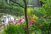 MORTON HALL GARDENS, WORCESTERSHIRE: CANDELABRA PRIMULAS BESIDE THE LOWER POND. BIRCHES, BETULA, REFLECTIONS, REFLECTED, POOL, WATER, MAY, SPRING, WOODLAND, SHADE, SEAT, WOODEN