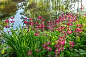 MORTON HALL GARDENS, WORCESTERSHIRE: CANDELABRA PRIMULAS BESIDE THE LOWER POND. REFLECTIONS, REFLECTED, POOL, WATER, MAY, SPRING, WOODLAND, SHADE