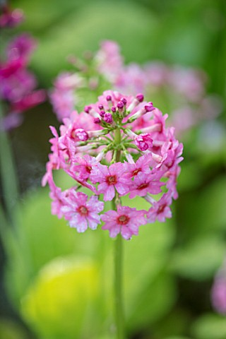 MORTON_HALL_GARDENS_WORCESTERSHIRE_CLOSE_UP_PLANT_PORTRAIT_OF_THE_PINK_FLOWER_OF_A_PRIMULA_CANDELABR