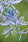 HARE SPRING COTTAGE PLANTS: CLOSE UP PLANT PORTRAIT OF THE BLUE FLOWER OF CAMASSIA CUSICKII ZWANENBERG. BULB, BULBS, SUMMER, FLOWERS, PETALS, BLOOM, BLOOMING