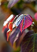 THE CONIFERS, OXFORDSHIRE: DESIGNER CLIVE NICHOLS - CLOSE UP PLANT PORTRAIT OF DARK RED LEAF OF CERCIS CANADENSIS RUBY FALLS. SHRUB, SHRUBS. LEAVES, FOLIAGE
