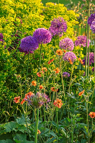 PETTIFERS_OXFORDSHIRE_BORDER_OF_ALLIUM_PURPLE_SENSATION_EUPHORBIA_PALUSTRIS_GEUM_PRINSES_JULIANA_MAY