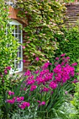 COTTAGE ROW, DORSET: HOUSE, WINDOW, GLADIOLUS COMMUNIS SUBSP. BYZANTINUS, ACTINIDIA KOLOMIKTA, WALL, CLIMBERS, PERENNIALS, SHRUB, SUMMER
