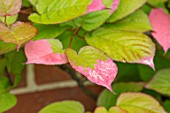 COTTAGE ROW, DORSET: CLOSE UP PLANT PORTRAIT OF ACTINIDIA KOLOMIKTA. CLIMBERS, CLIMBING, PINK, WHITE, TIPS, VARIEGATED, GREEN, LEAVES, CLIMBER, CLIMBING, FOLIAGE, SHRUBS