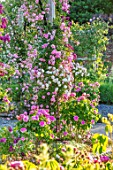 MOTTISFONT ABBEY, HAMPSHIRE: ARCH WITH ROSES - ROSA DEBUTANTE AND ROSA BLEU MAGENTA. STANDARD ROSE - ROSA LITTLE WHITE PET. ROSA COMTE DE CHAMBORD, PINK, WHITE, FLOWERS, ARCHES