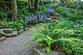 MORTON HALL, WORCESTERSHIRE: THE ROCKERY, SUMMER - FERNS, BLUE FLOWERS OF GREAT BELLFLOWER - CAMPANULA LATILOBA HIDCOTE AMETHYST AND HIGHCLIFFE VARIETY. PERENNIALS, ROCKS, WOODLAND