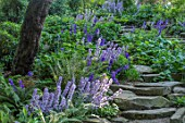 MORTON HALL, WORCESTERSHIRE: THE ROCKERY, SUMMER - FERNS, BLUE FLOWERS OF GREAT BELLFLOWER - CAMPANULA LATILOBA HIDCOTE AMETHYST AND HIGHCLIFFE VARIETY. STEPS, ROCKS, WOODLAND