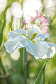 MORTON HALL, WORCESTERSHIRE: CLOSE UP PLANT PORTRAIT OF WHITE FLOWER OF ENSATA IRIS WHITE LADIES. IRISES, PERENNIALS, SUMMER, WOODLAND, POND, MOSITURE LOVING