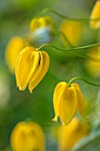 MORTON HALL, WORCESTERSHIRE: CLOSE UP PLANT PORTRAIT OF YELLOW FLOWERS OF CLEMATIS TANGUTICA LAMBTON PARK. CLIMBER, CLIMBING