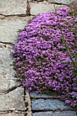 MORTON HALL, WORCESTERSHIRE: CLOSE UP PLANT PORTRAIT OF PURPLE, PINK FLOWERS OF THYME - THYMUS SERPYLLUM RUSSETTINGS. HERB, SCENTED, FRAGRANT, JUNE, THYMES, PATH, PATIO