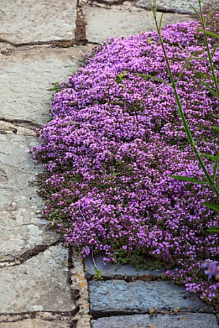 MORTON_HALL_WORCESTERSHIRE_CLOSE_UP_PLANT_PORTRAIT_OF_PURPLE_PINK_FLOWERS_OF_THYME__THYMUS_SERPYLLUM
