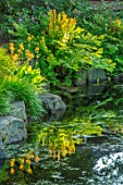 MORTON HALL, WORCESTERSHIRE: THE STROLL GARDEN - OSMUNDA REGALIS, PRIMULA BULLEYANA AND HAKENOCHLOA MACRA AUREOLA REFLECTED IN WATER. POND, POOL, REFLECTION, ROCKS