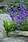 MORTON HALL, WORCESTERSHIRE: THE ROCKERY, SUMMER - FERNS, BLUE FLOWERS OF GREAT BELLFLOWER - CAMPANULA LATILOBA HIGHCLIFFE VARIETY. STEPS, ROCKS, WOODLAND