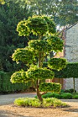 THE OLD RECTORY, QUINTON, NORTHAMPTONSHIRE: DESIGNER ANOUSHKA FEILER: FRONT DRIVE, CLIPPED CLOUD PRUNED TOPIARY PARROTIA PERSICA - PERSIAN IRONWOOD TREE, GREEN