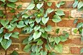 THE OLD RECTORY, QUINTON, NORTHAMPTONSHIRE: DESIGNER ANOUSHKA FEILER: SCHIZOPHRAGMA HYDRANGEOIDES MOONLIGHT. LEAVES, GREEN, BRICK, FOLIAGE, CLIMBERS, CLIMBING, SHRUBS, WALLS
