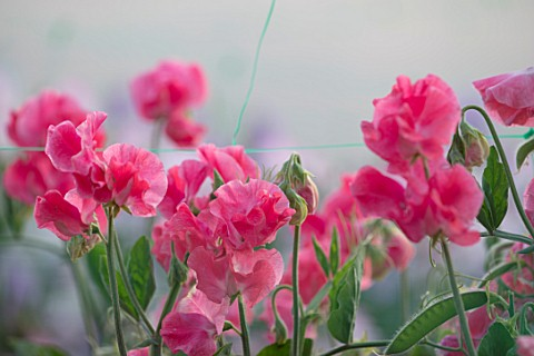 ROGER_PARSONS_SWEET_PEAS_WEST_SUSSEX_CLOSE_UP_PLANT_PORTRAIT_OF_THE_PINK_FLOWERS_OF_SWEET_PEA__LATHY