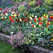 SPRING BEDDING WITH TULIPS  DAFFODILS  FORGET-ME-NOTS  WALLFLOWERS  MUSCARI  ALYSSUM  AUBRIETA & CANDYTUFT