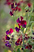 ROGER PARSONS SWEET PEAS, WEST SUSSEX: CLOSE UP PLANT PORTRAIT OF THE RED, PURPLE FLOWERS OF SWEET PEA - LATHYRUS ODORATUS PURPLE PRINCE. CLIMBER, ANNUAL, SUMMER, SCENTED, FRAGRANT