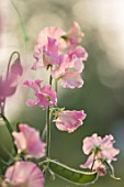 ROGER PARSONS SWEET PEAS, WEST SUSSEX: CLOSE UP PLANT PORTRAIT OF PINK FLOWERS OF SWEET PEA - LATHYRUS ODORATUS 16124 PAINTED PINK. CLIMBER, ANNUAL, SUMMER, SCENTED, FRAGRANT