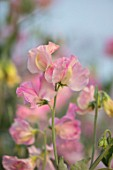 ROGER PARSONS SWEET PEAS, WEST SUSSEX: CLOSE UP PLANT PORTRAIT OF PINK FLOWERS OF SWEET PEA - LATHYRUS ODORATUS 16124 PAINTED PINK. CLIMBER, ANNUAL, SUMMER, SCENTED, FRAGRANT: