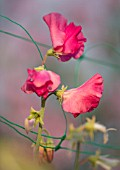 ROGER PARSONS SWEET PEAS, WEST SUSSEX: CLOSE UP PLANT PORTRAIT OF PINK FLOWERS OF SWEET PEA - LATHYRUS ODORATUS SPENCER MIX. CLIMBER, ANNUAL, SUMMER, SCENTED, FRAGRANT