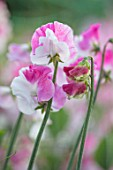 ROGER PARSONS SWEET PEAS, WEST SUSSEX: CLOSE UP PLANT PORTRAIT OF PINK, WHITE FLOWERS OF SWEET PEA - LATHYRUS ODORATUS PROMISE. CLIMBER, ANNUAL, SUMMER, SCENTED, FRAGRANT