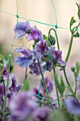 ROGER PARSONS SWEET PEAS, WEST SUSSEX: CLOSE UP PLANT PORTRAIT OF PURPLE, BLUE FLOWERS OF SWEET PEA - LATHYRUS ODORATUS EARL GREY. CLIMBER, ANNUAL, SUMMER, SCENTED, FRAGRANT