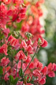 ROGER PARSONS SWEET PEAS, WEST SUSSEX: CLOSE UP PLANT PORTRAIT OF THE RED FLOWERS OF SWEET PEA - LATHYRUS ODORATA MALOY. CLIMBER, ANNUAL, SUMMER, SCENTED, FRAGRANT