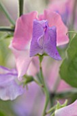 ROGER PARSONS SWEET PEAS, WEST SUSSEX: CLOSE UP PLANT PORTRAIT OF THE BLUE AND PINK FLOWERS OF SWEET PEA - LATHYRUS ODORATA . CLIMBER, ANNUAL, SUMMER, SCENTED, FRAGRANT