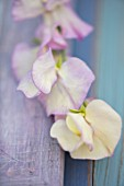 ROGER PARSONS SWEET PEAS, WEST SUSSEX: CLOSE UP PLANT PORTRAIT OF PINK, WHITE FLOWERS OF SWEET PEA - LATHYRUS ODORATA APRIL IN PARIS . CLIMBER, ANNUAL, SUMMER, SCENTED, FRAGRANT