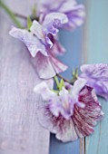 ROGER PARSONS SWEET PEAS, WEST SUSSEX: CLOSE UP PLANT PORTRAIT OF PINK, LILAC FLOWERS OF SWEET PEA - LATHYRUS ODORATA EARL GREY . CLIMBER, ANNUAL, SUMMER, SCENTED, FRAGRANT