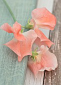 ROGER PARSONS SWEET PEAS, WEST SUSSEX: CLOSE UP PLANT PORTRAIT OF ORANGE FLOWERS OF SWEET PEA - LATHYRUS ODORATA APRICOT QUEEN. CLIMBER, ANNUAL, SUMMER, SCENTED, FRAGRANT
