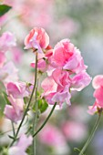 ROGER PARSONS SWEET PEAS, WEST SUSSEX: CLOSE UP PLANT PORTRAIT OF PINK FLOWERS OF SWEET PEA - LATHYRUS ODORATA BICOLOR MIXTURE. CLIMBER, ANNUAL, SUMMER, SCENTED, FRAGRANT