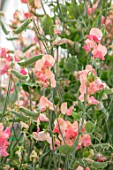 ROGER PARSONS SWEET PEAS, WEST SUSSEX: CLOSE UP PLANT PORTRAIT OF PINK FLOWERS OF SWEET PEA - LATHYRUS ODORATA SAN FRANCISCO. CLIMBER, ANNUAL, SUMMER, SCENTED, FRAGRANT