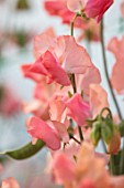 ROGER PARSONS SWEET PEAS, WEST SUSSEX: CLOSE UP PLANT PORTRAIT OF PINK FLOWERS OF SWEET PEA - LATHYRUS ODORATA 16044 CANDY FLOSS. CLIMBER, ANNUAL, SUMMER, SCENTED, FRAGRANT