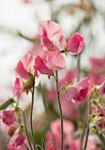 ROGER PARSONS SWEET PEAS, WEST SUSSEX: CLOSE UP PLANT PORTRAIT OF PINK FLOWERS OF SWEET PEA - LATHYRUS ODORATA MAMMOTH CREAM PINK. CLIMBER, ANNUAL, SUMMER, SCENTED, FRAGRANT