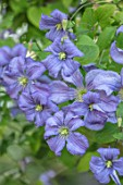 COTTAGE ROW, DORSET: CLOSE UP PLANT PORTRAIT OF FLOWER OF CLEMATIS PRINCE CHARLES. BLUE, SILVER, PETALS, FLOWERS, CLIMBERS, CLIMBING, MAUVE, PURPLE