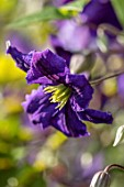 COTTAGE ROW, DORSET: CLOSE UP PLANT PORTRAIT OF THE PURPLE FLOWER OF CLEMATIS WISLEY. DECIDUOUS, CLIMBER, CLIMBING, SHRUBS