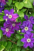 COTTAGE ROW, DORSET: CLOSE UP PLANT PORTRAIT OF THE PURPLE FLOWERS OF CLEMATIS JACKMANII JEWEL OF MERK OR CLEMATIS HAPPY BIRTHDAY . DECIDUOUS, CLIMBER, CLIMBING, SHRUBS, AGM
