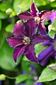 COTTAGE ROW, DORSET: CLOSE UP PLANT PORTRAIT OF THE PURPLE FLOWER OF CLEMATIS JACKMANII JEWEL OF MERK OR CLEMATIS HAPPY BIRTHDAY . DECIDUOUS, CLIMBER, CLIMBING, SHRUBS, AGM